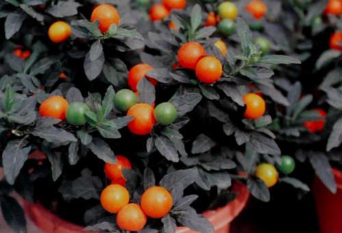 Les plantes toxiques pour les animaux guides hello v to - Pommier d amour entretien ...